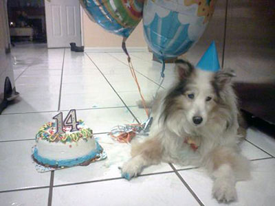 picture of a senior dog with a birthday cake.